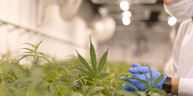 6 Ways COVID-19 Impacts Cannabis Insurance Market